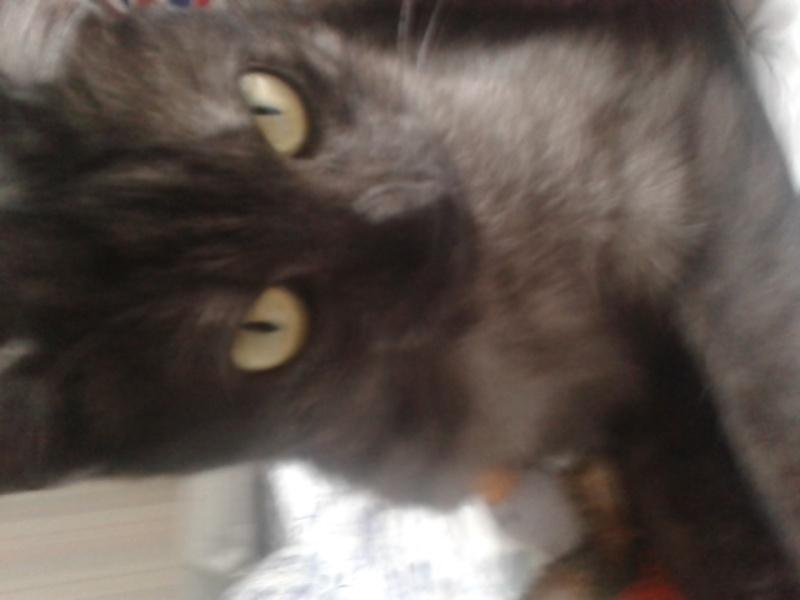 LIXOU, jeune chat européen, robe smoke, né en janvier 2015 20151010