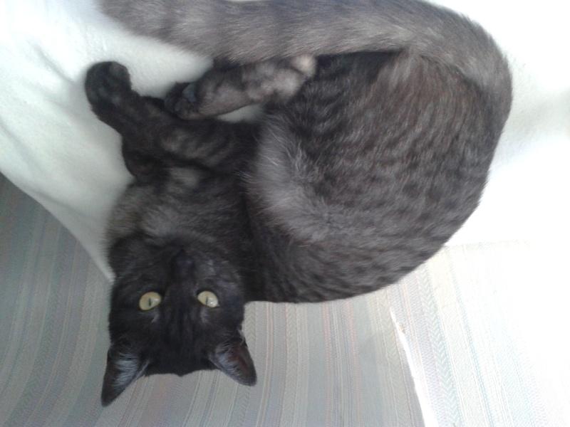 LIXOU, jeune chat européen, robe smoke, né en janvier 2015 20151011