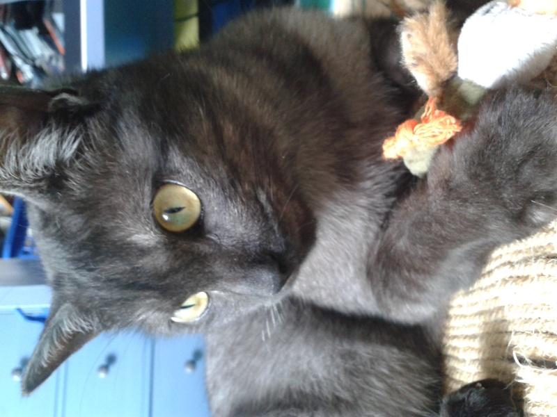 LIXOU, jeune chat européen, robe smoke, né en janvier 2015 20151014