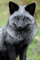 LIXOU, jeune chat européen, robe smoke, né en janvier 2015 29980710