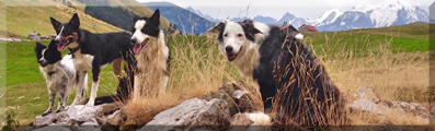 Mon border collie sest decourvert un instinct de chasse?? Signat11