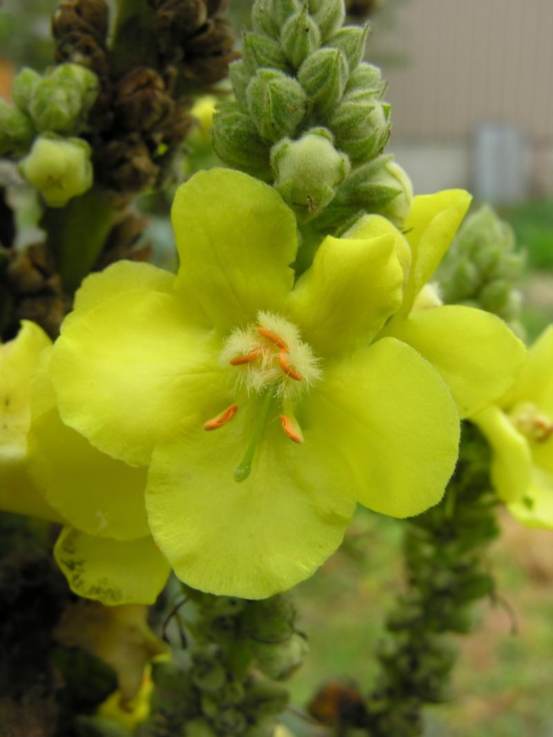 Bouillon Blanc, Verbascum thapsus 10-10-12