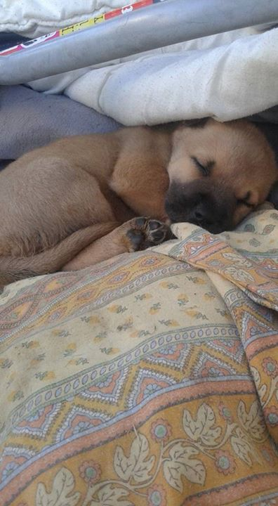 Chiot Femelle Cane Corso x Malinois Byby310