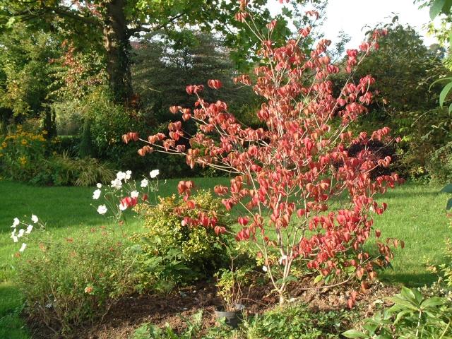 plaisir d'automne Cornus10
