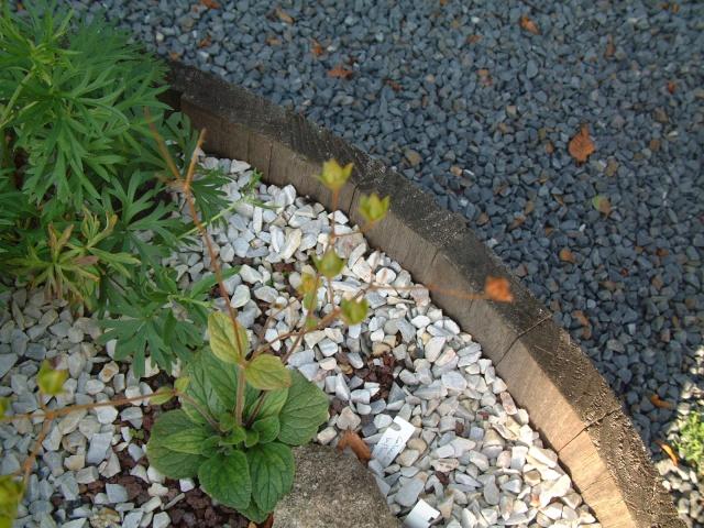 calceolaria - Page 2 Dscf7212
