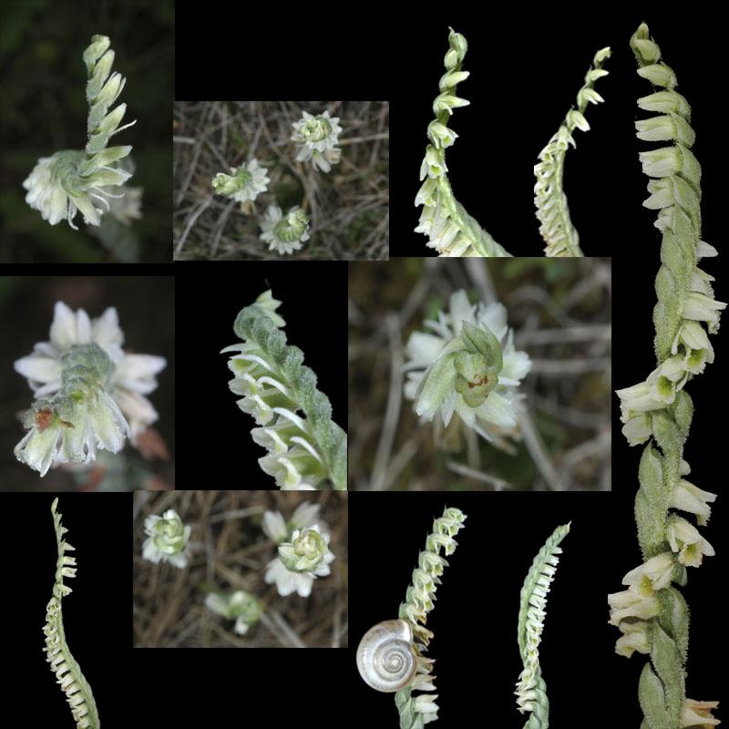 Spiranthes spiralis  ( Spiranthe d'automne ) Op_cop10