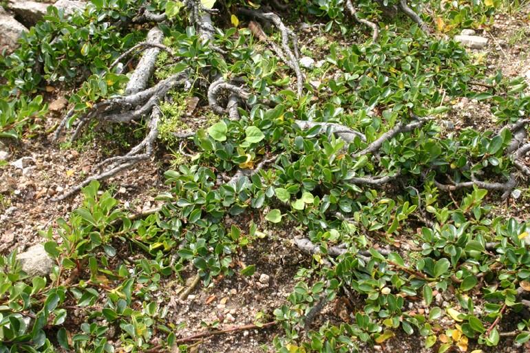 Les saules nains, par Acantho Salix_14