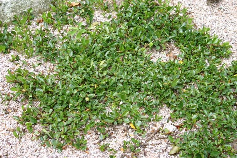 Les saules nains, par Acantho Salix_17