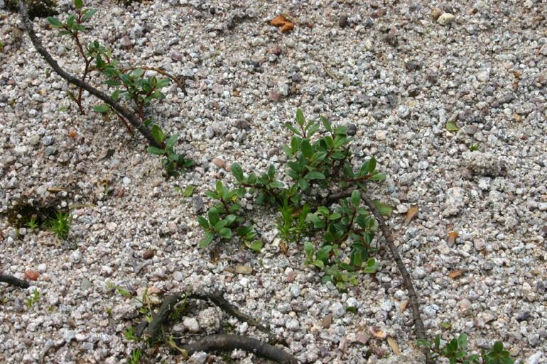 Les saules nains, par Acantho Salix_19
