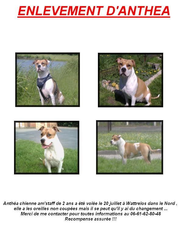 Anthéa, chienne amstaff volée, a diffuser un maximun Enleve11
