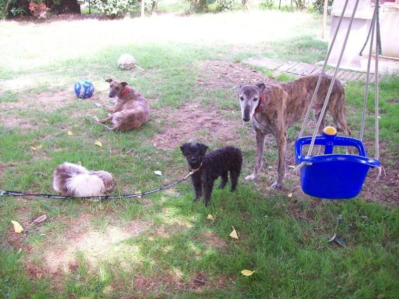 """Chazal """"Adoptée """" et Shiva """"adoptée """" petites caniches de 8 ans à l'adoption  Chiva_10"""