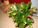Est-ce un rhipsalis epiphyllum ??? - Merci d'avance Img_0211