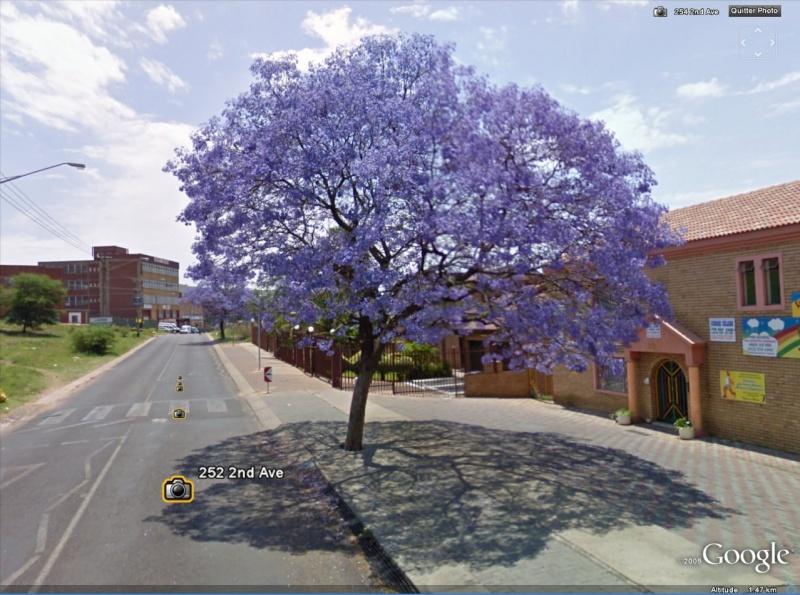 STREET VIEW : un Jacaranda tout bleu à Claudius, Afrique du Sud Jacara10