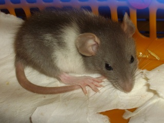 Rats Imgp1520