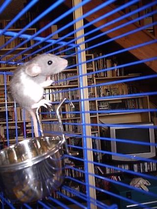Rats Maison15