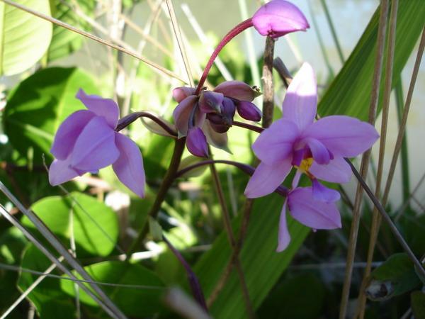 orchidée de guadeloupe Dsc05510