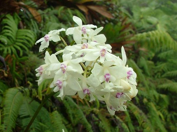 orchidée de guadeloupe Gwada_10