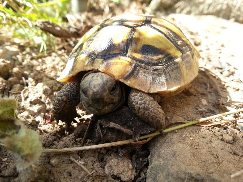les tortues de Brina Boettgeri 20150811