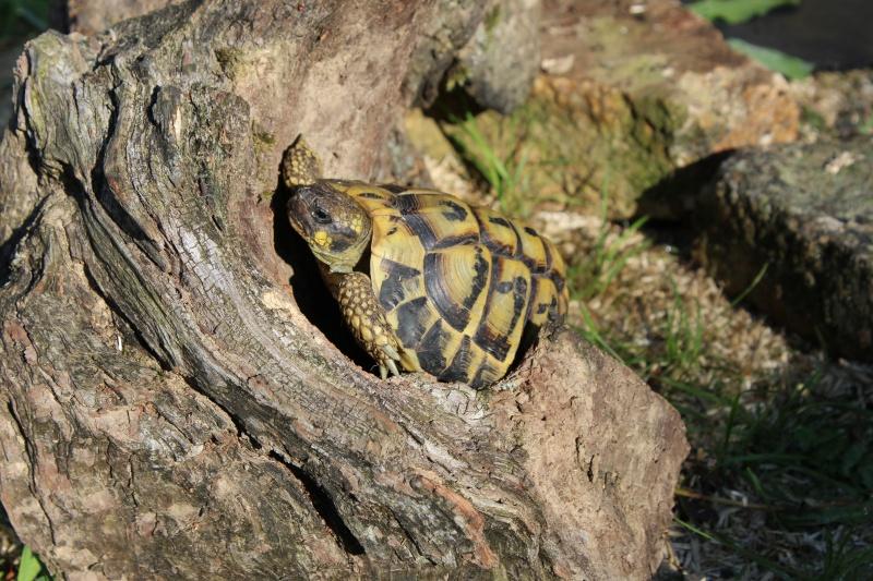 les tortues de Brina Boettgeri Img_2111