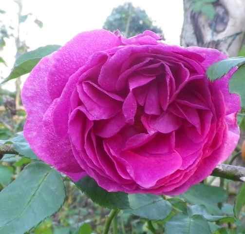 Rosa 'Madame Isaac Péreire' !!! - Page 2 10112011