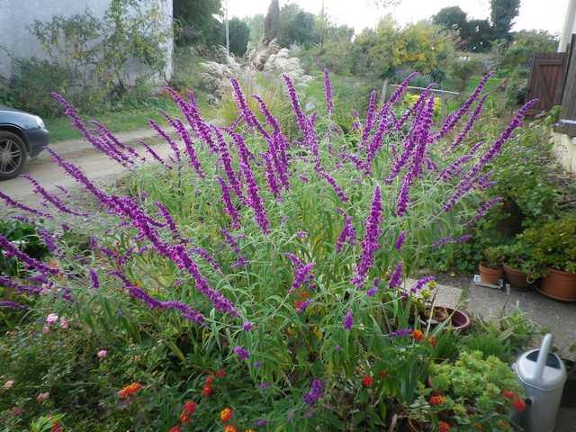 Salvia gélive .........  Salvia leucantha 'Purple velvet' !!! 25102016