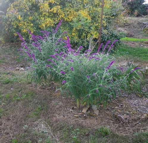 Salvia gélive .........  Salvia leucantha 'Purple velvet' !!! 25102017