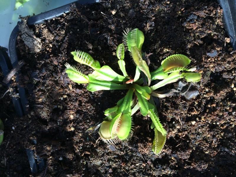 Dionée Conchiglie (nouveau cultivar) Img_2911