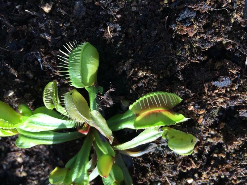 Dionée Conchiglie (nouveau cultivar) Img_2912