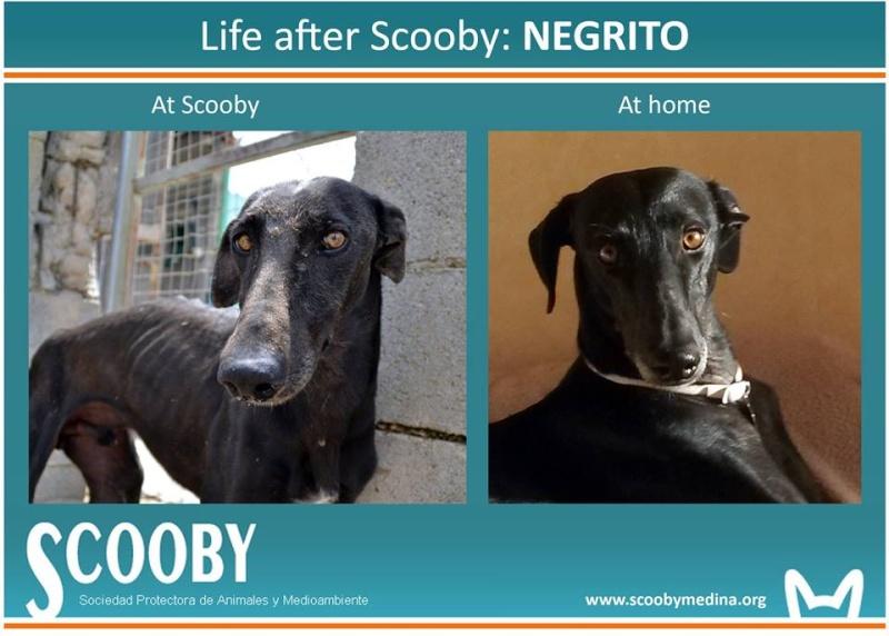 Negrito/Feïto doux galgo aux yeux tristes Scooby France Adopté - Page 5 10407110