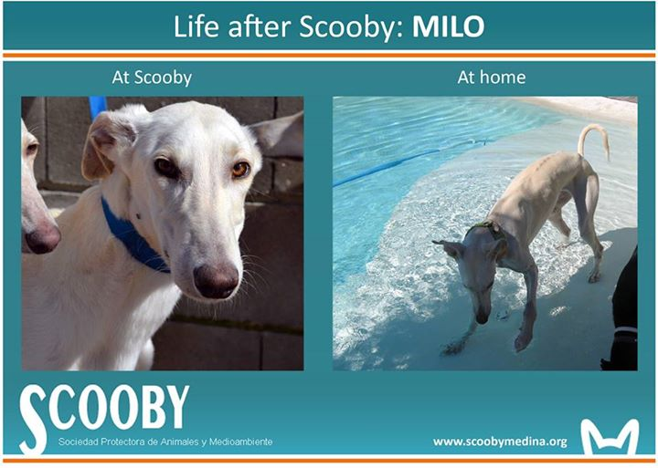 Milo galgo Scooby France – Adopté ! - Page 19 10917410