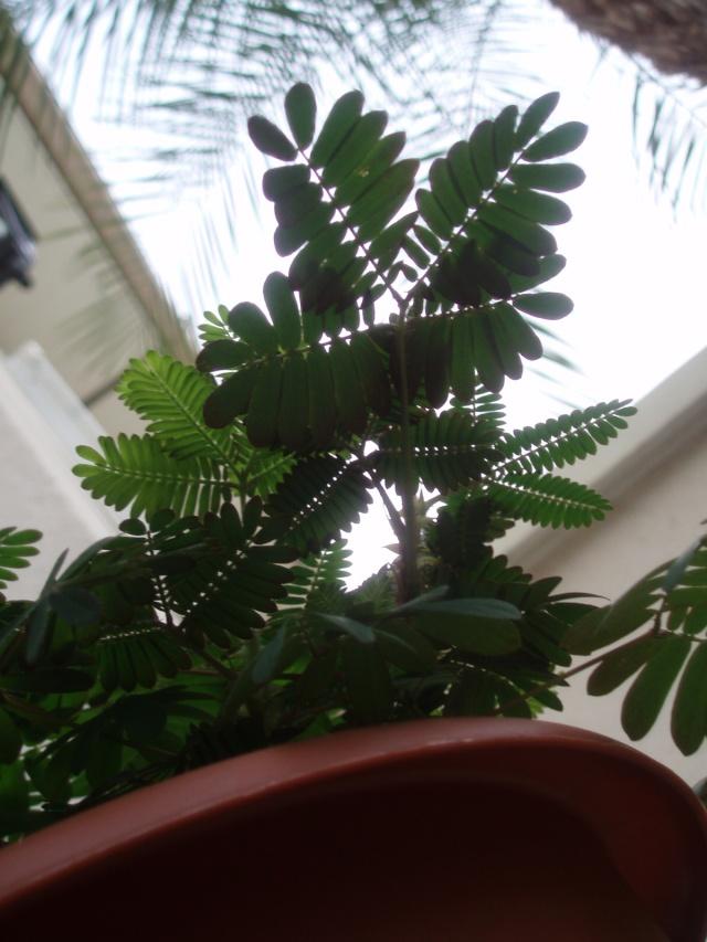 Mimosa pudica Pa110713