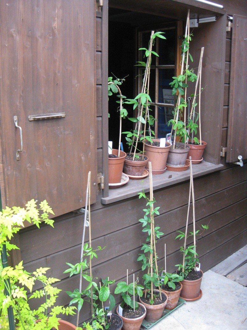 site passiflora Img_0410