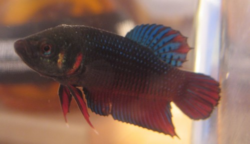 Mes poissons Male_p10