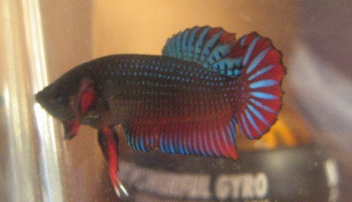 Mes poissons Male_p11