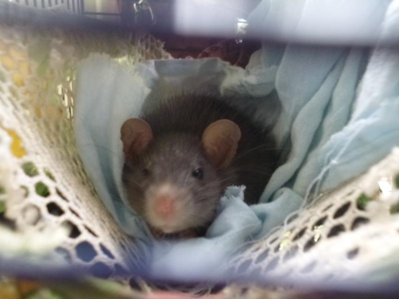 Bébé rattus rattus orphelin  - Page 5 P1030710