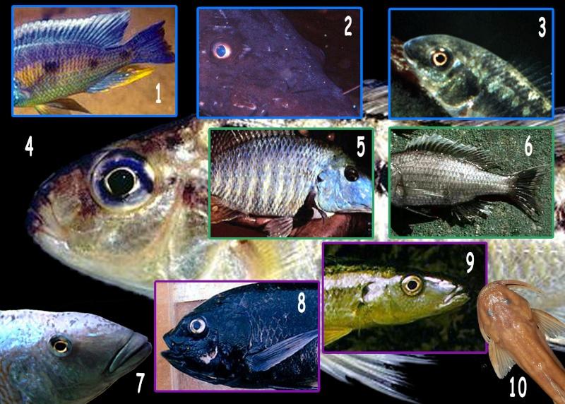 planche de quiz n°2 poissons africains (1500 + 1000 points) Quizz_10