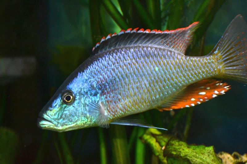 Vends Dimidiochromis Strigatus Dimidi11