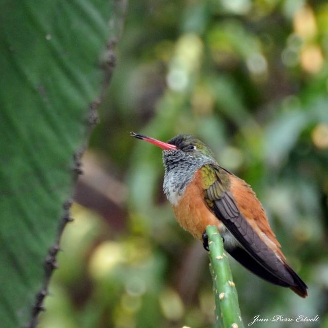 Oiseaux d'Amérique Dsc_1711