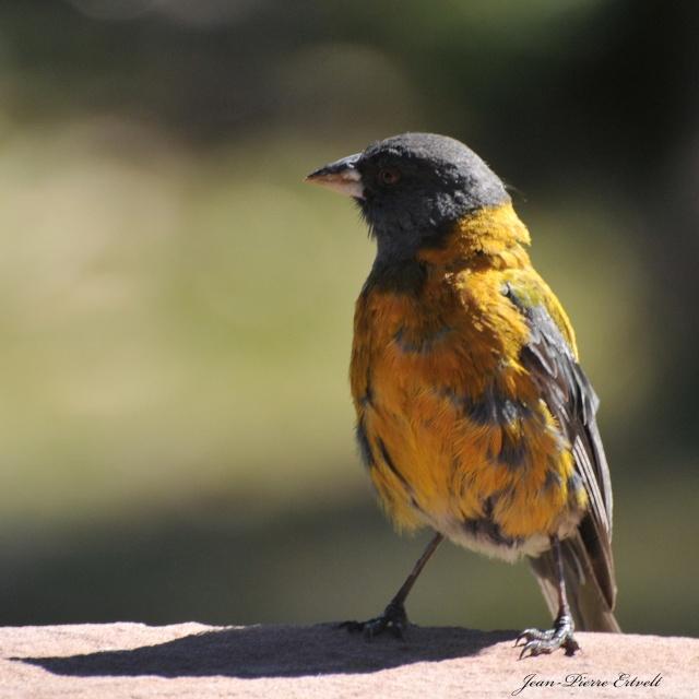 Oiseaux d'Amérique Dsc_2510