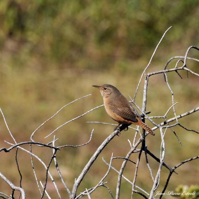 Oiseaux d'Amérique Dsc_2511