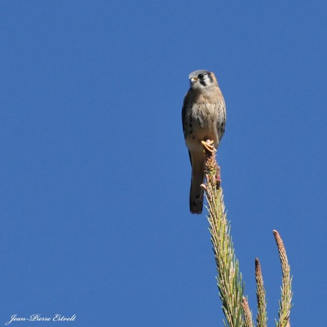 Oiseaux d'Amérique Dsc_2512