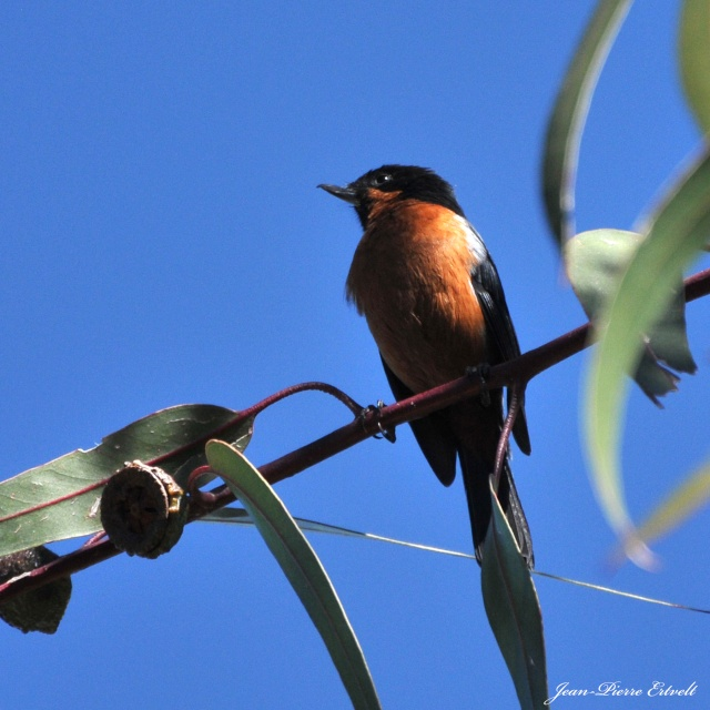 Oiseaux d'Amérique Dsc_2513