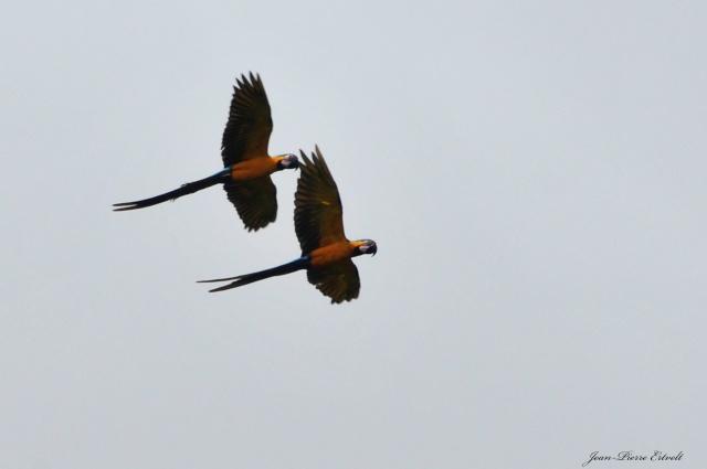 Oiseaux d'Amérique Dsc_3410