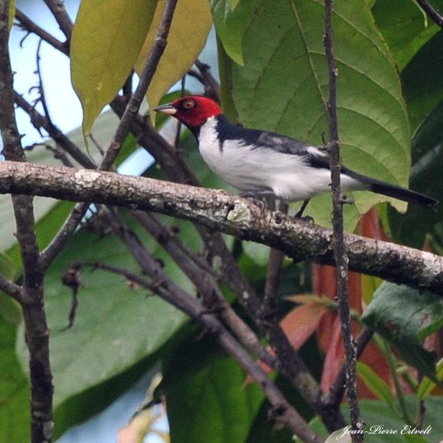 Oiseaux d'Amérique Dsc_3611