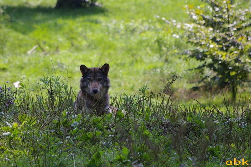 Parc animalier de Sainte-Croix  ( Rhodes 57 ) Loup_c10