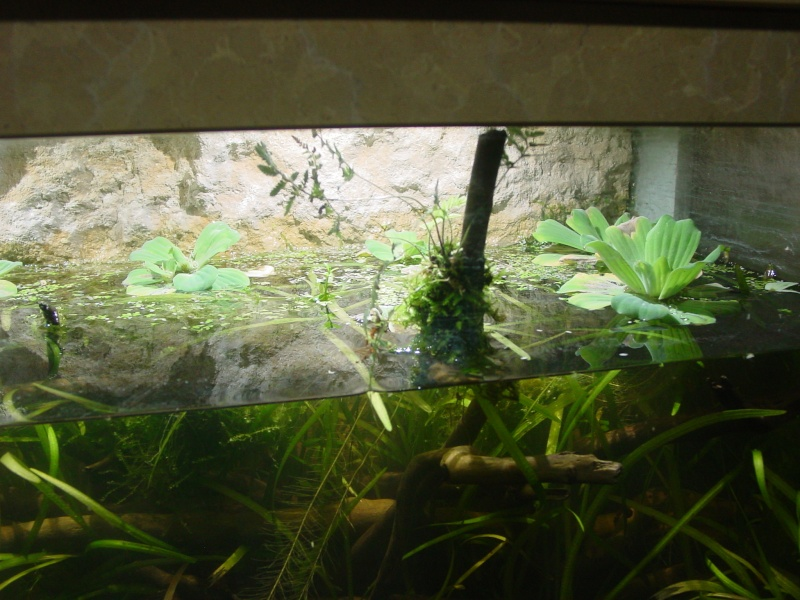 Mon aquarium low tech  0k_110