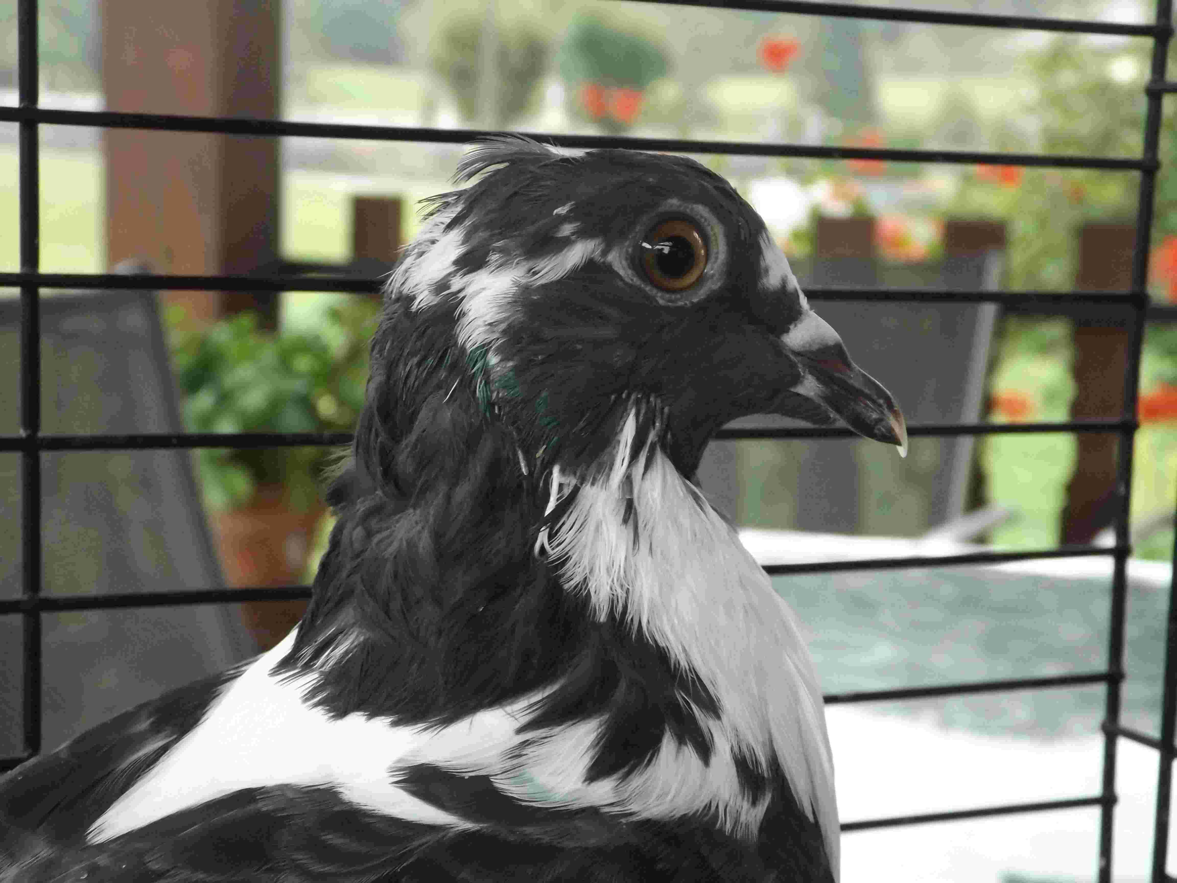 pigeon aveugle Dscf1011