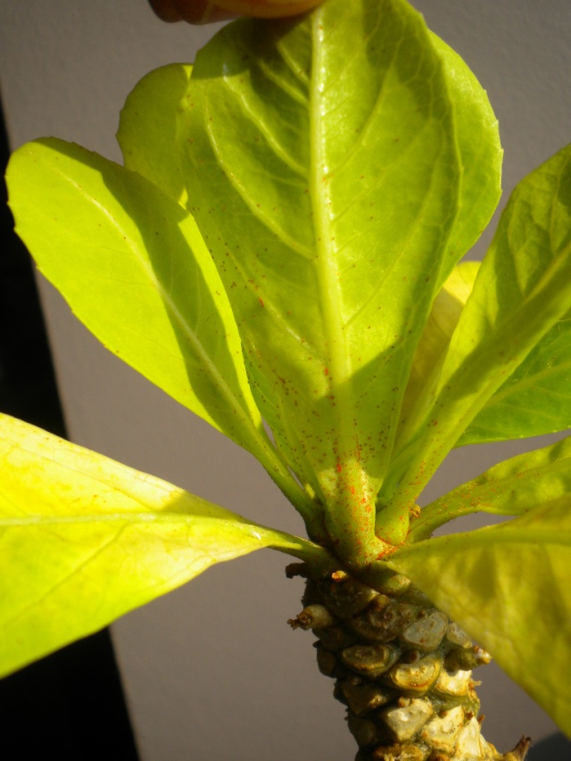 Palmier hawaien malade Dscn5912