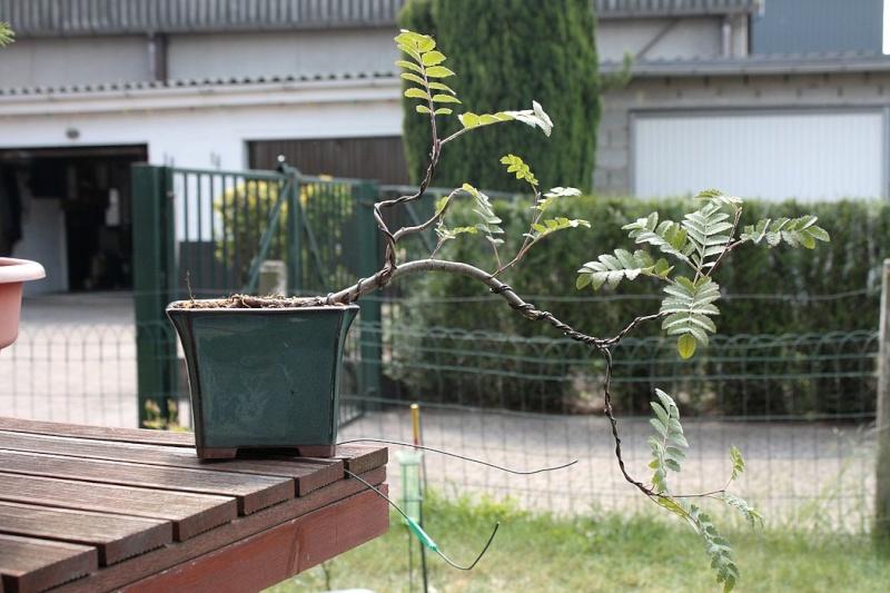 Sorbier des oiseleurs semis-cascade Img_2860
