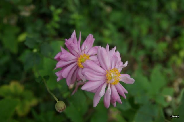 floraisons d'octobre - Page 14 Imgp7022